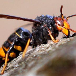 Ciutadans (Cs) Cerdanyola presenta una moció per prevenir l'efecte de la implantació i expansió de la vespa asiàtica
